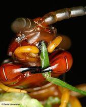 Los scolopendras o ciempiés gigantes (como este Scolopendra sp.) Son voraces d …   – Bichos