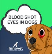 Blood Shot Eyes in Dogs   – Innovet Pet Articles