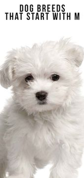 Dog Breeds That Start With M Dogs Dog Breeds Dog Facts