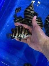 4 Bar Sumatra Datnoid Tiger Fish 3 4 Inches Tiger Fish Fish For Sale Fish