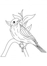 Western Bluebird Coloring Page Download Free Western Bluebird
