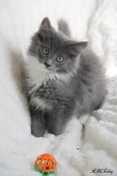 Astrid Is An Adoptable Domestic Medium Hair Cat In Front Royal Va Astrid Is A Domestic Medium Hair Female With Grey And White Markings Warrior Cat Cats Pets