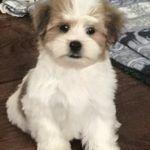 Shih Tzu Maltese Designer Puppies For Sale In Chicago Il Patty S Pups Puppies Puppies For Sale