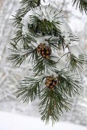 Photo of Schnee auf Kiefer. Ich weiß nicht, ob dieses Bild tatsächlich in Maine aufgenommen wurde, aber …