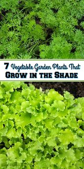 7 Vegetable Backyard Crops That Develop within the Shade – Reuse Develop Get pleasure from