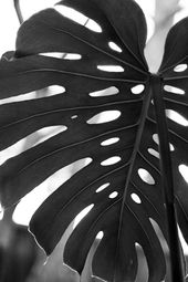 Leaf – fine art black and white photography – abstract photo of a tropical Philodendron split leaf plant. 8×12