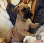 Pin By Jeannie Hubble On Not So Wildlife Boxer Mastiff Mix Boxer Mix Puppies Mastiff Mix