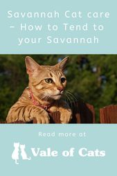 Savannah Cat care – How to Tend to your Savannah  – Cat Breeds