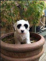 Toddles Tibetan Terrier Cross Miniature Poodle For Sale In Stockbury Sittingbourne Kent Tibetan Terrier Terrier Miniature Poodle