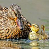 60 niedliche Baby-Entenbilder, die Sie zum Sagen bringen   – Ducks