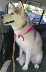 Siberian Husky Dog For Adoption In Seattle Wa Usa Siberian
