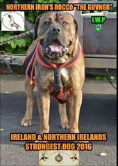 Rocco From Northern Ireland Big Dogs Dogs Animals