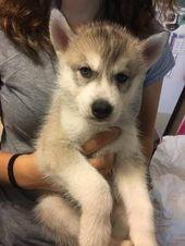 Litter Of 8 Siberian Husky Puppies For Sale In Joplin Mo Adn