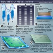 How DNA Profiling Works 2