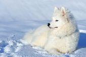 Samoyed puppy Stock Photography – Alaska – Samoyed