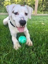 Labrador Great Dane Mix Dog Doglife Dogsofinstagram Dogstyle