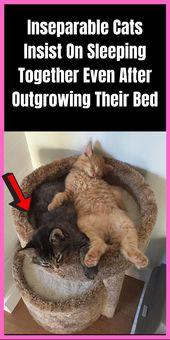 Los gatos inseparables insisten en dormir juntos incluso después de dejar su cama    – TrendingPins