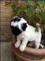 Toddles Tibetan Terrier Cross Miniature Poodle For Sale In