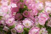 Marienglockenblume: Alles zu Sortenwahl & Pflege der Glockenblume – Plantura