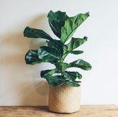 Wie man einen Fiddle Leaf Fig Tree am Leben erhält – Pflegetipps für Fiddle Leaf Fig – low maintaince flowers for south FL