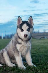 Puppy siberian husky sitting on green grass in the evening. #siberianhusky   – Husky Love❤️