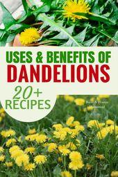 Dandelion Uses & Benefits