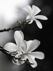 Poster , Blume 09, Blumen Natur Schwarz Weiß Baum Frangipani Blüten A4 in Möbel & Wohnen, Dekoration, Bilder & Drucke | eBay