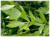 Pflanzliche Liebstöckel (Levisticum officin – Kleiner Balkon Ideen   – Kleiner Balkon
