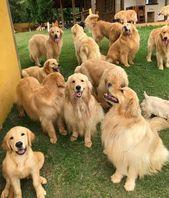 12 razones por las que nunca deberías tener Golden Retrievers – Dog Red Line   – Golden Retriever