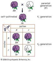Gregor Mendel Biography Experiments Facts Teaching Biology Gregor Mendel Genetics