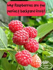 Rising Raspberry Bushes ~Why they're the Excellent Fruit for Backyards.