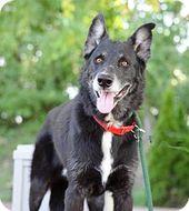 Pictures Of Liam A Siberian Husky Labrador Retriever Mix For