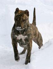 Presa Canario Dogs Dog Breeds