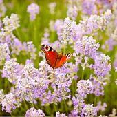 Lavendel 'Rosea' 3 Pflanzen online kaufen & bestellen