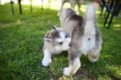 Alaskan Malamute Puppies   – Animals