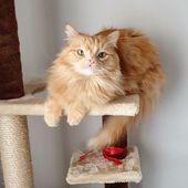 Aktuelle Bilder Ragdoll Cats Ingwer Tipps