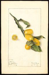 Antique Original Colored Botanical  Lithograph of Frutis Benincasa Cerifera From  REVUE HORTICOLE