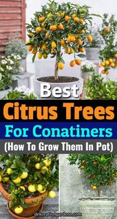 5 Best Citrus Trees For Containers (Growing Citrus In Pots) Learn about 5 best c…