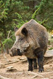 Wild Boar Animals Beautiful Feral Pig Wild Boar Hunting