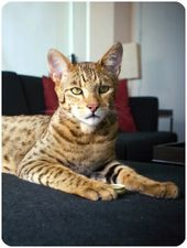 Of the rarest cat breeds, the Ashera , is the most expensive ($20K+), the Sokoke… – it's raining cats & dogs!!
