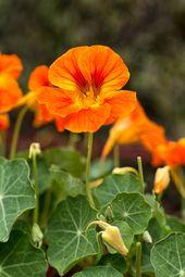 Nasturtiums Spring Flower Garden Spring Plants Spring Garden Flowers Nasturtium