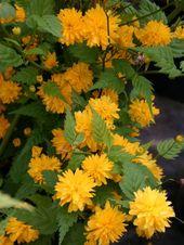 gefüllter Ranunkelstrauch / Kerrie & # 39; Pleniflora & # 39; – Kerria japonica…