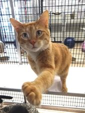 Adopt Garfield Personal Assistant On Petfinder Cat Adoption Cats Animal Shelter