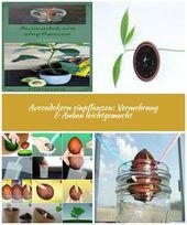 Anleitung: Plant Avocado. Wie man den Avocado-Kern pflanzt und wie man …   – kalorienarmer-apfelkuchen