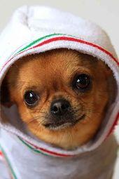 Chihuahua puppy what a sweet smil #chihuahua puppy what a sweet smile #puppyfind…  – Chihuahua