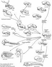 Evolution And Function Of Mammal Skulls Mammals Evolution Vintage Medical