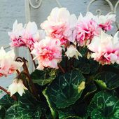 Neuesorte Alpenveilchen Rosa Pink Weiss Cyclamen Blumenstilschwabhausen Pflanzen Blumen Alpenveilchen Rosa