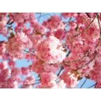 Online Orchards Kwanzan Cherry Blossom Tree Bare Root Flch001 The Home Depot Flowering Cherry Tree Cherry Blossom Tree Blossom Trees