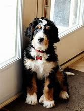 Full Grown Mini Bernese Mountain Dogs
