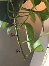 Wie Pothos Pflanzen zu vermehren – Zimmer Pflanzen